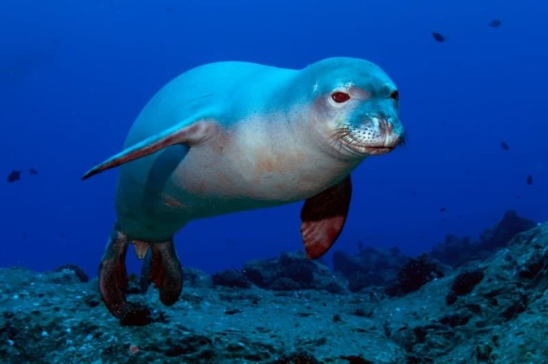 Hawaiian Monk Seal