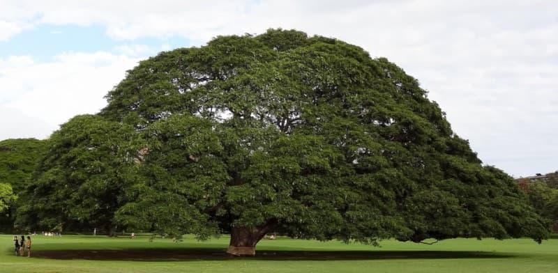 giant monkeypod tree in Moanalua Park