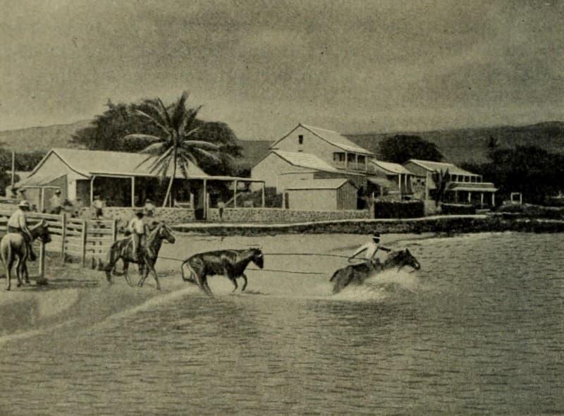 Paniolos loading Cattle at Kailua