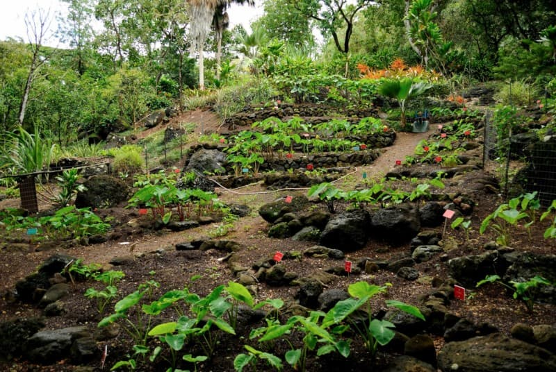 A Patch of kalo (taro) plants in Waimea Valley